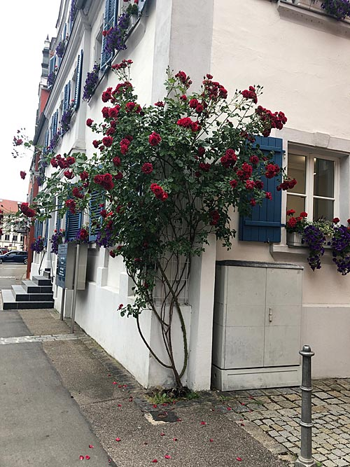 Rosen in Oettingen